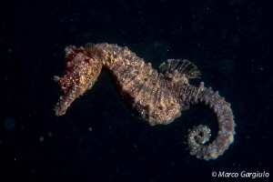 Mediterranean SeaHorse night dive by Marco Gargiulo